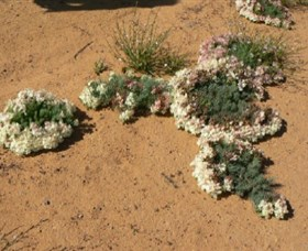 Coorow Wreath Flowers - Accommodation Broken Hill